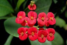 La Euphorbia milii es una planta de la familia Euphorbiaceae originaria de Madagascar. Su uso está muy extendido en jardinería como planta ornamental. Debido a las numerosas espinas que cubren sus …