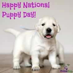 Celebrate National Puppy Day! #PrimoPup