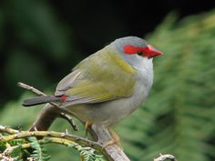 The Red-browed Finch is an estrildid finch that inhabits the east coast of Australia. This species has also been introduced to French Polynesia for breeding. It is commonly found in temperate forest and dry Little Birds, Love Birds, Beautiful Birds, Tree Drawings Pencil, Bird Pictures, Animal Pictures, Bird Species, Bird Feathers, Bird Houses