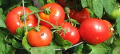 Seletz is reported to ripen early here and on GW, and its a larger tomato
