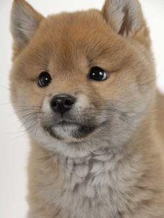 柴犬の子犬 : 柴犬としばちゃん