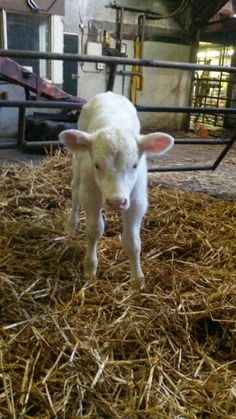 Beautyful baby cow♡