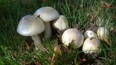 "A three-year old boy from Victoria has died after eating a poisonous ""death cap"" mushroom picked in the city, a health official said Wednesday.  The boy was foraging for wild mushrooms with his family last week at an undisclosed location in downtown Victoria, said Richard Stanwick, chief medical health officer for Island Health."