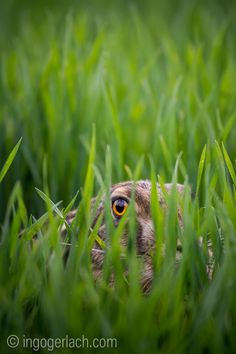 Eye of the #hare.   #Burgenland/Austria.    www.ingogerlach.com www.shop.ingogerlach.de