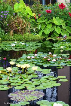 Beautiful garden pond with water lilies. Pond Plants, Garden Plants, Garden Pond, Lotus Garden, Dream Garden, Beautiful Flowers, Beautiful Gardens, Goldfish Pond, Carpe Koi