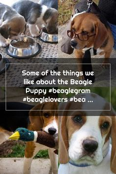 Some of the things we like about the Beagle Puppy #beaglegram #beaglelovers #beaglesfacts Adoptable Beagle, Beagle Puppy, Facts, Puppies, Dogs, Animals, Cubs, Animales, Animaux