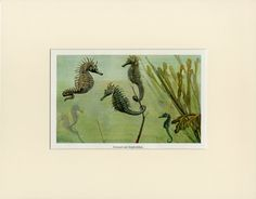 Rare Antique Seahorse Print C. 1900 - Vintage Lithograph Sea Horse, Ocean Beach Nautical - Wall Art Home Decor Gift Idea - Matted by AntiquePrintBoutique on Etsy Victorian History, Life Under The Sea, Nautical Wall Art, Vintage Art Prints, Magical Creatures, Ocean Beach, Rare Antique, Marine Life, Natural History
