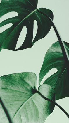 13 tips to care for your Monstera and make it grow. You will find the ideal way of taking care for your Monstera: light, temperature, humidity, water. Leaf Prints, Wall Art Prints, Poster Prints, Art Posters, Pink Prints, Poster Shop, Nature Posters, Poster Poster, Buy Prints