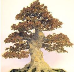 This Month in the Garden: A Brief Guide to Growing and Caring for Bonsai Trees Buy Bonsai Tree, Bonsai Tree Care, Bonsai Tree Types, Indoor Bonsai Tree, Indoor Trees, Bonsai Trees, Tree Base, Miniature Trees, Gardening