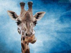 """Titulo: """"Jirafa efecto smudge"""" Autor: Mª Mercedes Yañez García País: España Foro: MASCOTAS Y ANIMALES http://blipoint.es/galeria/frontGalleryList?user=23224"""