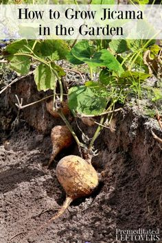 Do you want to grow jicama in your garden? This guide on how to grow jicama tell Edible Garden, Garden Pots, Permaculture, Organic Gardening, Gardening Tips, Vegetable Gardening, Kitchen Gardening, Types Of Farming, Growing Vegetables