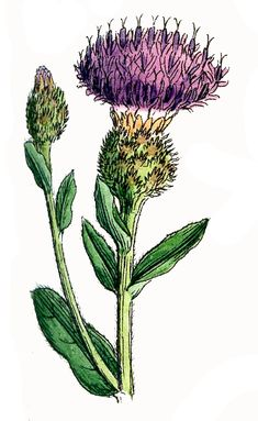 Antique Botanical Graphics - Thistles - The Graphics Fairy