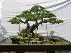 Ficus can handle pretty severe pruning, but can suffer die-back if pruned too aggressively. The Ficus Benjamina will bleed a milky white sap when pruned. Bonsai Ficus, Buy Bonsai Tree, Bonsai Tree Care, Bonsai Tree Types, Indoor Bonsai Tree, Bonsai Garden, Bonsai Pruning, Ficus Bonsai Tree, Bonsai Styles