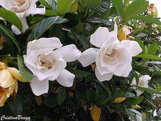 Arbusto semi-lenhoso, pertence à família Rubiaceae, da China e do Japão, de 1,5 a 2,0 metros de altura. Folhas verdes escuras brilhantes e coriáceas. Flore