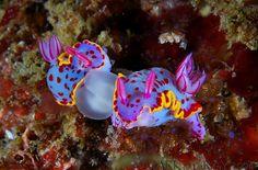 Nudibranches- Sea Slugs Mating