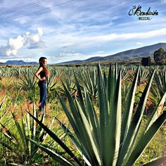 Agaves de Espadin en Santiago Matatlán, Oaxaca  - Wine & spirits