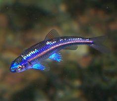 Rainbow shiner (Fresh water fish)