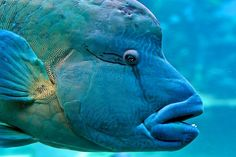 The humphead wrasse is an enormous coral reef fish—growing over six feet long—with a prominent bulge on its forehead. Some of them live to be over 30 years old. They roam through coral reefs in search of hard shelled prey such as mollusks, starfish, or crustaceans.