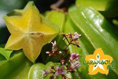 carambolo o Fruta de estrella  Averrhoa carambola