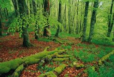 Hayedo en Peña Ubiña, Asturias // Beech forest in Peña Ubiña