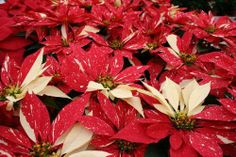 Poinsettia at the Paul Ecke Ranch