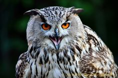 Gufo siberiano by Welbis Pestana on My Animal, Owl, Birds, Locarno, Owls, Bird