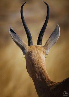 Eye Lashes by Carsten Meyerdierks - Photo 173654537 / Deer Family, Tier Fotos, Crown Jewels, Fantasy Creatures, Mother Nature, Eyelashes, Giraffe, Eyes, Amazing