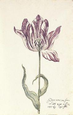 Great Tulip Book: Purper Int Wit Van Jeroen,17th century    1600-1699  Gouache on paper  11-3/8 x 6-7/8 in. (28.9 x 17.5 cm)