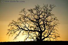 oak-tree-silhouette-2.jpg california, horizontal, images, oak, silhouettes, sonoma, trees, west coast, western usa
