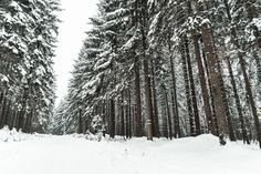 Free Image: Winter Forest Covered with Snow | Download more on picjumbo.com!