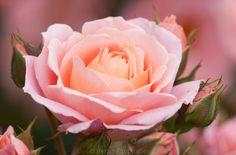"""Rosa """"Rosenmärchen"""" - Rose"""