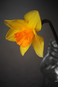 Photograph Dafodil in a Mason Jar by Nate A on 500px
