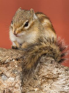 Where do squirrels sleep? How do they sleep? It is commonly known that these animals are very active during the day and get their rest during the night.