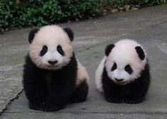 Fluffy Baby Pandas via:cutestuff They're so fluffy! I think I'm gonna die! Panda Bebe, Cute Panda, Panda Panda, Cute Baby Animals, Animals And Pets, Baby Panda Bears, Baby Pandas, Giant Pandas, Amor Animal