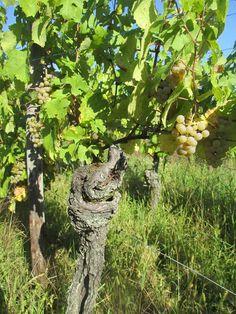 Très veille vigne de