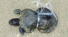 La contaminación del plástico no entiende de fronteras: Tortuga atrapada en el plástico de paquete de 6 botes de bebida