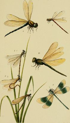 Category: Odonata - Report of the Senckenberg Natural Science Society in Frankfurt am Main . Dragonfly Illustration, Dragonfly Drawing, Illustration Noel, Dragonfly Art, Illustrations, Botanical Drawings, Botanical Prints, Insect Art, Nature Prints
