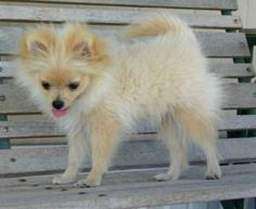 Poms are cute even when they are ugly!