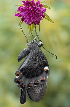Beautiful Papilio anchisiades by butterflyman minster