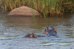 Kruger National Park in Kruger Park, Mpumalanga. The largest game reserve in South Africa, the Kruger National Park is larger than Israel. Kruger National Park, National Parks, Game Reserve, Spaces, Animals, Animales, Animaux, Animal, Animais