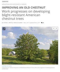 http://www.heraldcourier.com/community/work-progresses-on-developing-blight-resistant-american-chestnut-trees/article_535d05dc-f91a-567d-b090-2eae5fb9dcbc.html