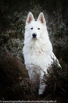 Jovi, swiss white shepherd