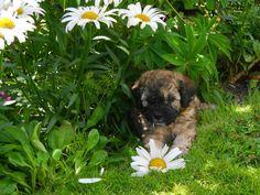 Sable Cavapoochon puppy 6 weeks old