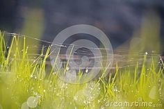 Cobweb of shining a bright morning dew.