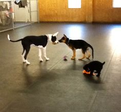 My GSD pup, Cooper making friends at Puppy Class.  Great Dane - Titan & Mini Poodle, Tiffany...  All 3 months old!
