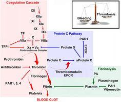 Coagulation, anticoagulation and fibrinolysis maintain a delicate physiological . Coagulation Cascade, Protein C, Lab Humor, Hematology, Medical Laboratory, Anatomy And Physiology, Pharmacology, Microbiology, Going Back To School