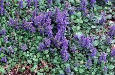 "Blue Bugleweed (Ajuga genevensis),   Perennial, Zone: 3a to 10a,Height: 6.0"" to 10.0""Light Exposure: Full Shade to Full Sun, Bloom Color: Blue, Bloom Time: Early Summer, Late Spring, Leaf Color: Green, Purple, Variegated, Growth Rate: Average, Moisture: Dry to Moist  Salt Tolerance: None  Soil Condition: Acidic, Clay, Loamy, Neutral, Sandy, Slightly Alkaline, Well Drained  Form: Spreading  Landscape Uses: Border, Container, Erosion Control, Ground Cover, Rock Garden, Woodland Garden"