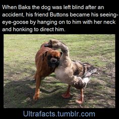 Buttons the four-year-old goose leads her pal around everywhere either by hanging onto him with her neck, or by honking to tell him which way to go. Owner Renata Kursa, 47, of Lublin, Poland, was heartbroken when Bak was left blind after an accident. 'But gradually Buttons got him up on his feet and starting walking him around. They're inseparable now – they even chase the postman together,' she said.