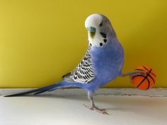 Just playing some b ball Budgie Parakeet, Parakeets, Blue Budgie, Animals And Pets, Cute Animals, Australian Parrots, Crazy Bird, Bird Toys, Cutest Animals