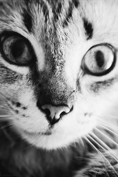 See what Fernanda Baruffi (febaruffi) found on We Heart It, your everyday app to get lost in what you love. Pretty Cats, Beautiful Cats, Cute Cats, Pretty Kitty, Baby Kittens, Cats And Kittens, Crazy Cat Lady, Crazy Cats, Neko